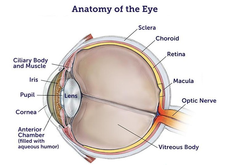 Eye Anatomy - Robomate+